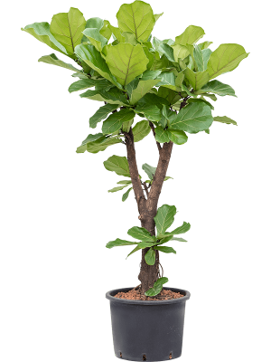Planta naturala Ficus Lyrata