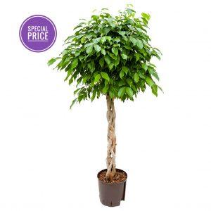 Planta naturala Ficus benjamina 140